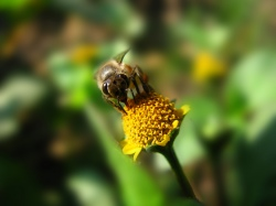 Bee collecting pollen and nectar (Photo: Wikimedia