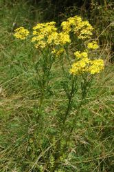 Ragwort a source of pyrrolizidine alkaloids (Photo: Wikimedia)