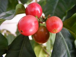 Coffee beans the second most valuable commodity (Photo: Wikimedia)