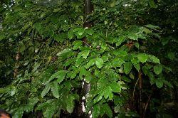 Tea can be made of coffee leaves (Photo: Wikimedia)