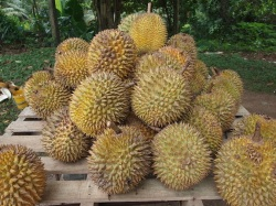 The terrible smell of durians (Photo: Wikimedi)