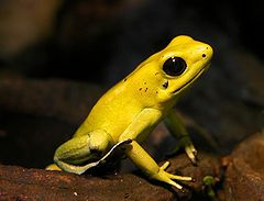 The golden poison frog (Photo: Wikimedia)