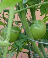 Stems, leaves and unripened tomatoes might be avoided (Photo: Camelia TWU)