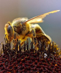 Bees are vital for crop pollination (Photo: Jon Sullivan)