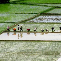 Rice is the most important grain crop in the world (Photo: Claudia Gold)
