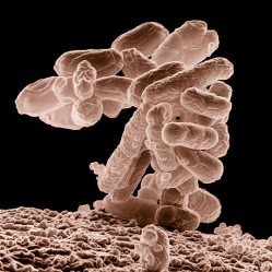 The gut microbiota important for well being (Photo: Wikimedia)