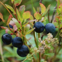 Bilberries are as beneficial to health as blueberries (Photo: Bjørn Tennøe)