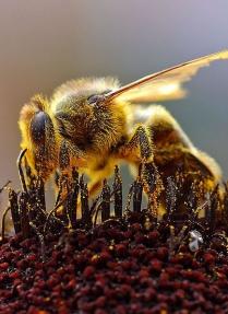 Honey_bee_(Jon_Sullivan)